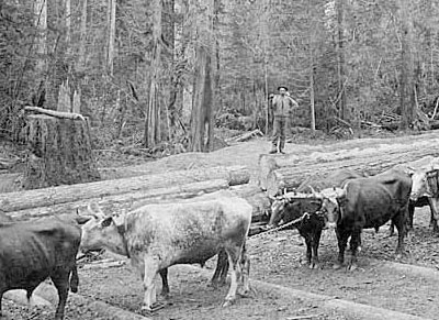 Oxen pulling logs to the shoreline at McDonald's logging camp in Kenmore, 1878. As timber close to Seattle fell to the axe, loggers looked further afield for trees, using the area's lakes and rivers to float the logs to sawmills in Seattle. Photo by Arthur Churchill Warner. Courtesy UW Special Collections, WAR0573.